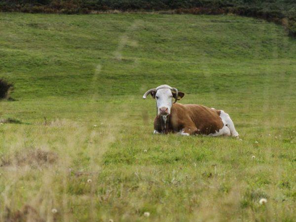 Существует фибринозный эндометрит у коров