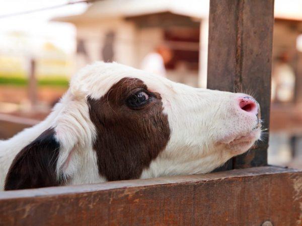 Следствием гастроэнтерита у теленка является нарушенный обмен веществ