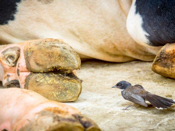 Существуют разные причины возникновения глистов у коров