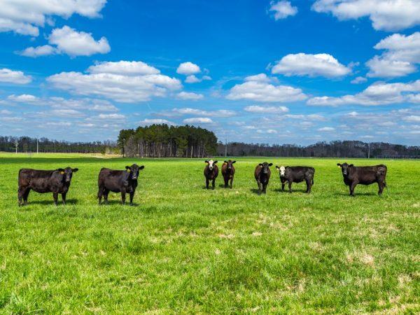 При эпидемии глистов очищают место выпаса коров