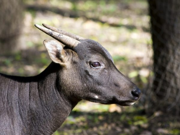 Карликовый буйвол аноа