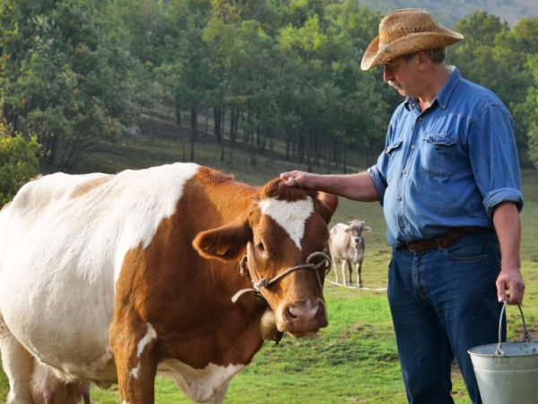 Раздой коров проводят в период