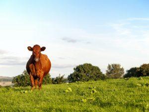 У красногорбатовской породы коров много преимуществ