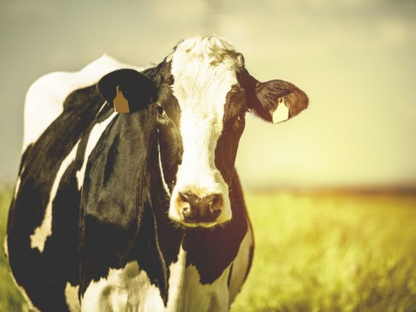 Лейкозу подвержены все породы коров независимо от возраста