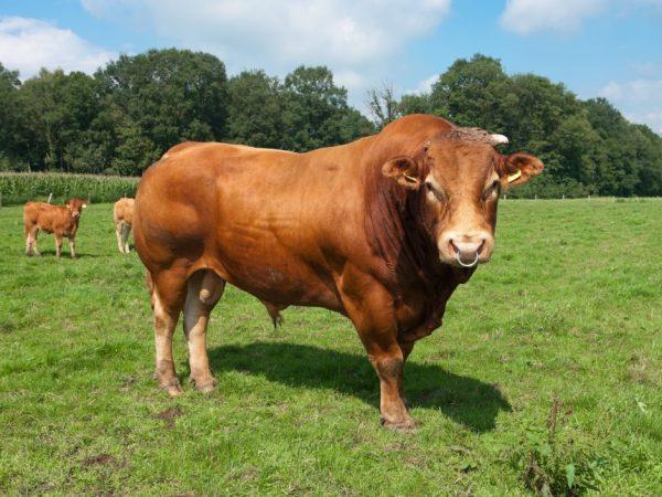 Главным недостатком лимузинских бычков является агрессивность
