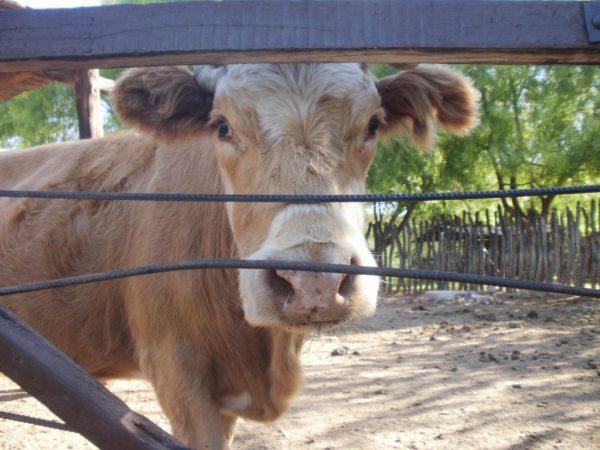 Оспа у коров на вымени приводит к оспенному маститу