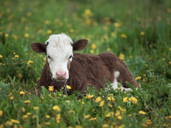 Если новорожденный теленок не встает, то ему нужна помощь
