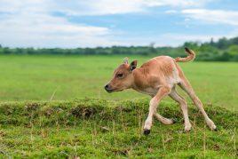 Подъем теленка на ноги