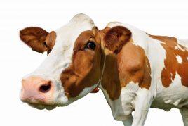 Понос у коров