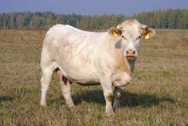 Коровы Шароле неприхотливы в еде