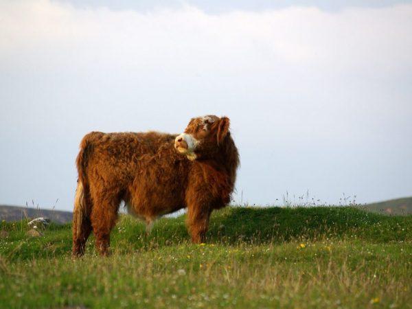 Главная ценность шотландской коровы – это качественное мясо