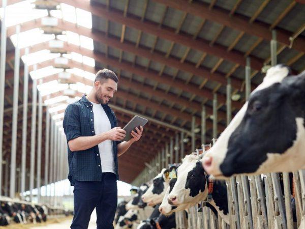 Перед спариванием корова проходит проверку на гинекологические заболевания