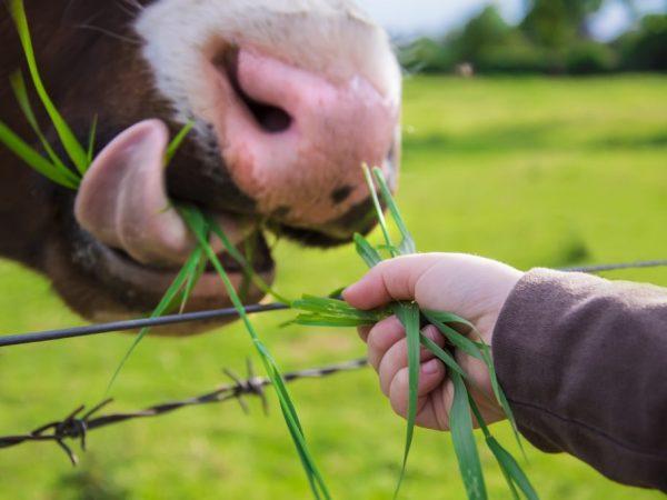 Протеин для коров