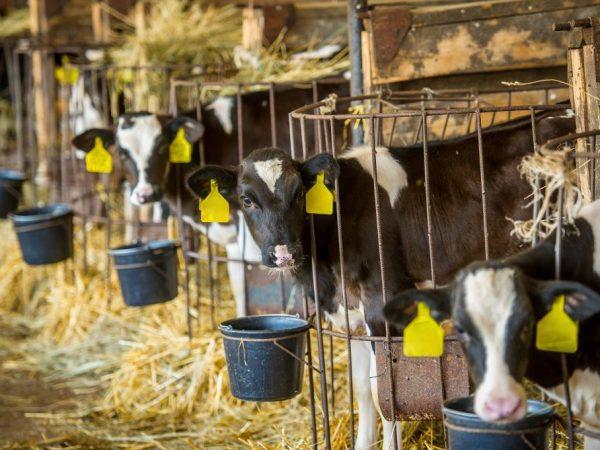 Через 5 суток телят начинают выпаивать цельным молоком