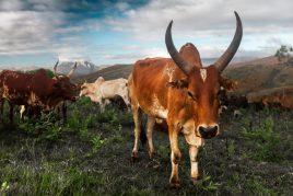 Зебувидная корова