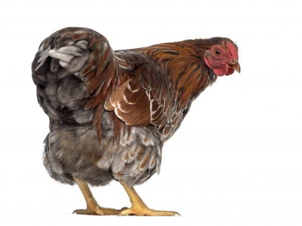 Половое созревание куриц Барневельдер начинается в возрасте 6 месяцев