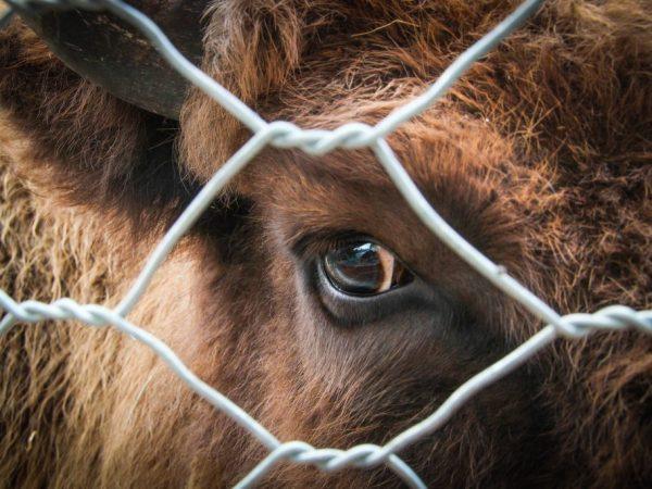 Если не вылечить бельмо у коровы вовремя, то животное может потерять зрение