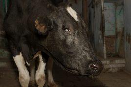 Бельмо у коровы
