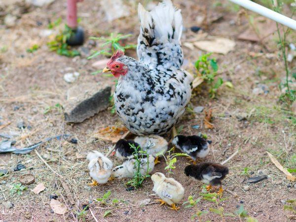 Средняя яйценоскость кур Бентамок обычно составляет около 100 яиц в год