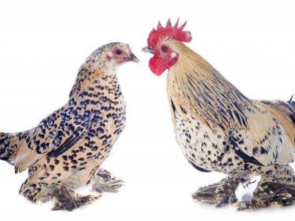 Куры Бентамки – декоративные домашние птицы