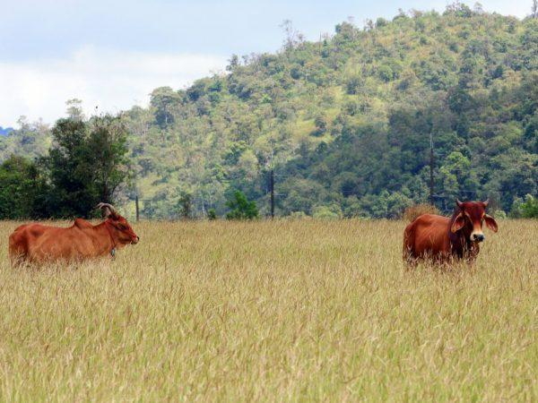 Бестужевские коровы неприхотливы и быстро акклиматизируются к новым условиям
