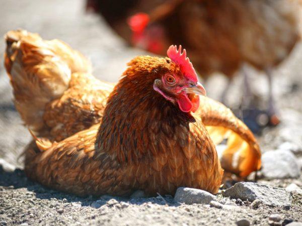 Заболевание Марека быстро распространяется на непривитых птиц
