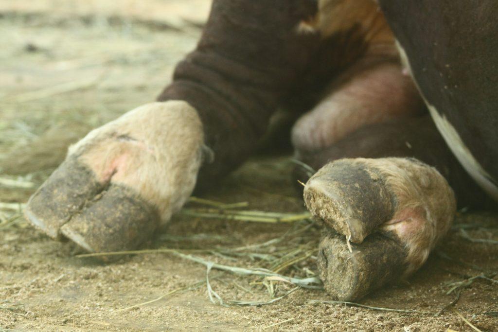 Характерные заболевания копыт у коров