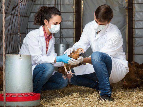Болезнь Гамборо куриц – это вирусная инфекция, вызывающая воспаление суставов