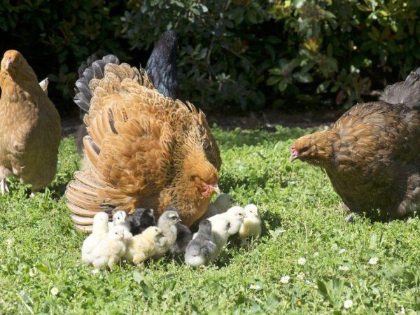 В течении года зрелая курица породы Брама способна снести до 130 яиц