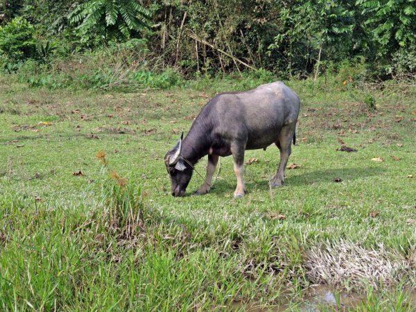 Буйвол Тамароу внешне выглядит как антилопа