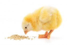 Кормление цыплят с первых дней жизни