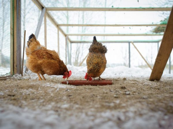 Остатки с хозяйского стола будут полезными для прикорма кур