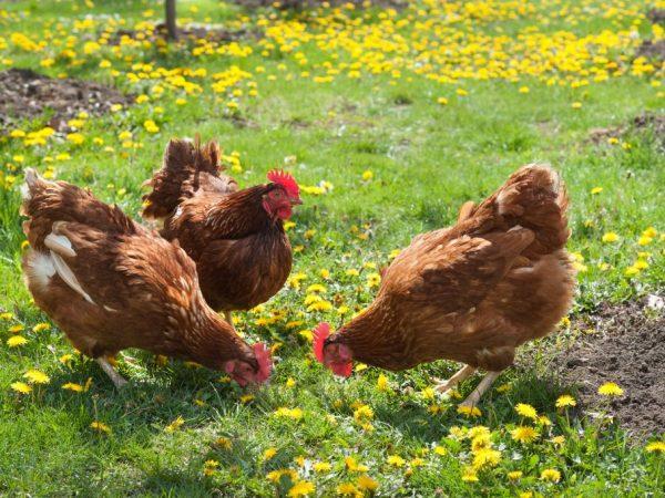 Зеленые корма для кур являются основным источником витаминов