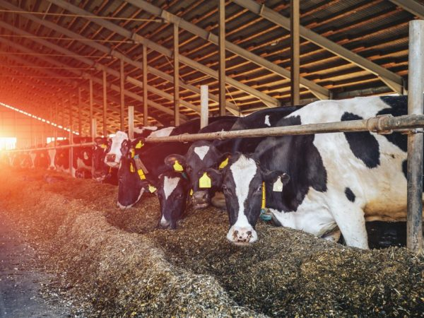Черно-пестрая порода коров относится к молочному направлению