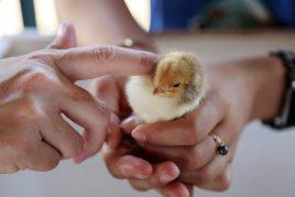 Уход за цыплятами с первых дней жизни