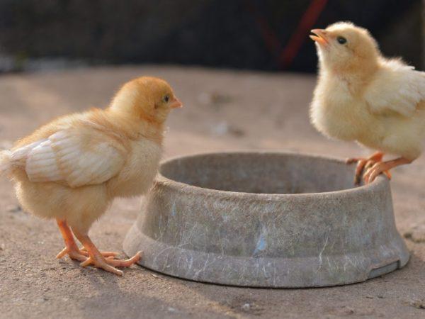 Пропаивать птенцов лучше всего кипяченой водой