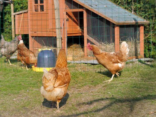 При дезинфекции рекомендуют удалять куриц на 5-8 суток из птичника