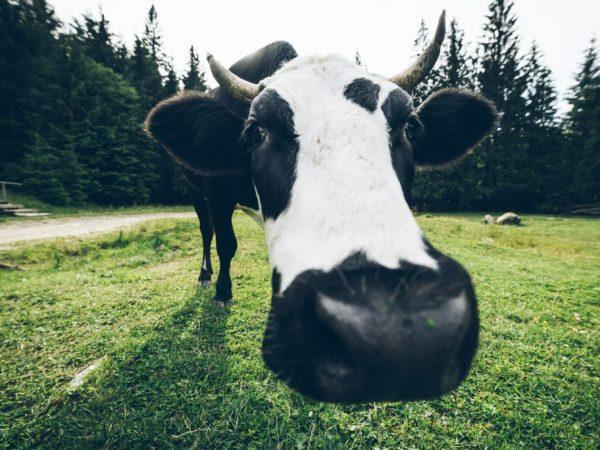 Черно-пестрая корова дает от 4 до 6 т молока в год
