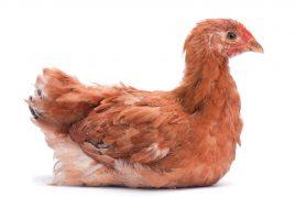 Куры фокси дают до 250 яиц в год