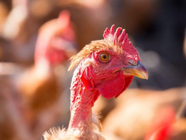 Голошейную породу кур относят к мясояичному направлению
