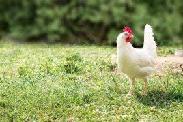 Хайсекс Уайт – одна из лучших пород в птицеводстве