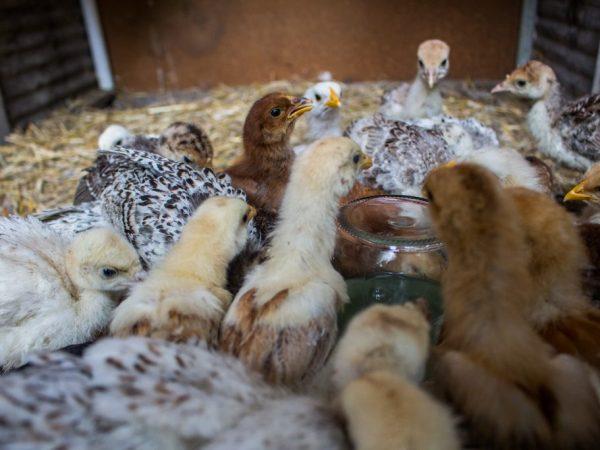 Йодинол для цыплят – эффективный препарат