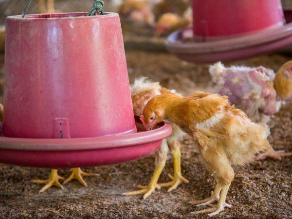 Иммунизацию цыплятам синим йодом проводят осенью и весной