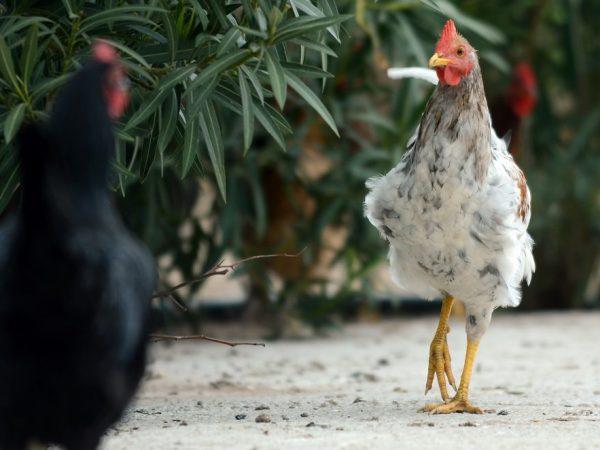 Народная медицина является эффективным методом борьбы с куриными блохами