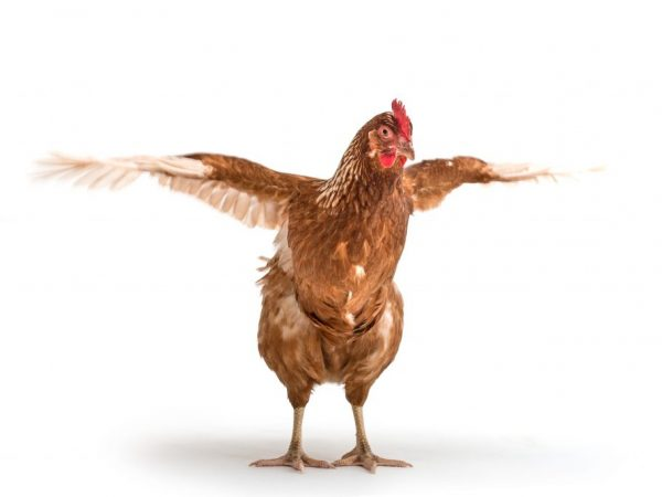 Куриные блохи наносят большой вред домашним птицам