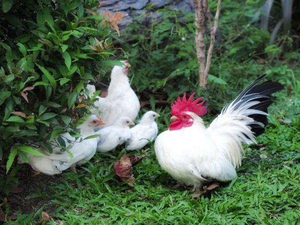 Карликовые курицы Шабо относятся к японским декоративным