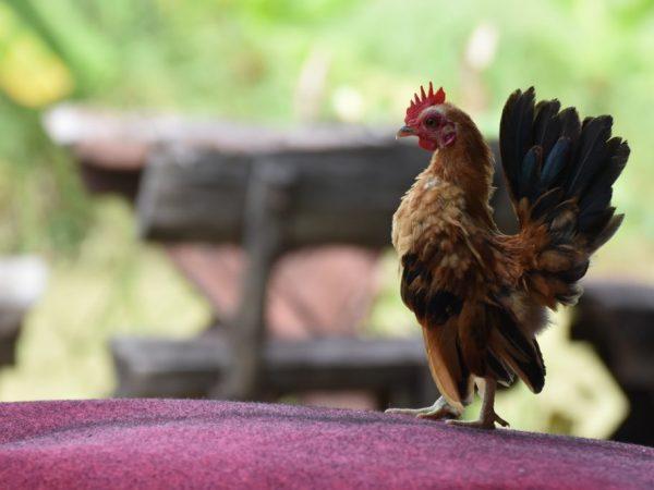 Малазийские карликовые куры – самые маленькие из всех известных