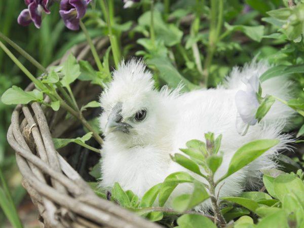 Цыплятам китайских хохлатых куриц необходимо сбалансированное питание