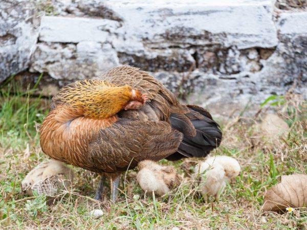 Клещи у куриц