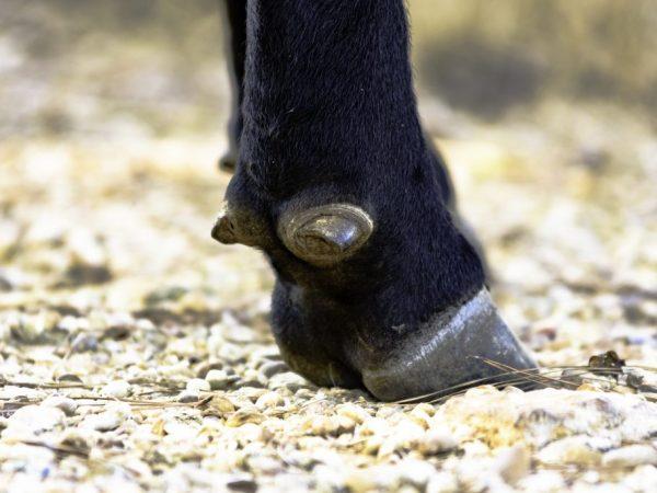 Для лечения копытной гнили, больную корову изолируют от остальных животных